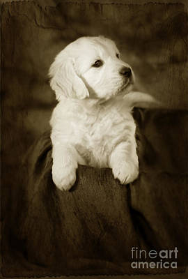 Vintage Golden Retriever Pup Art Print by Angel  Tarantella