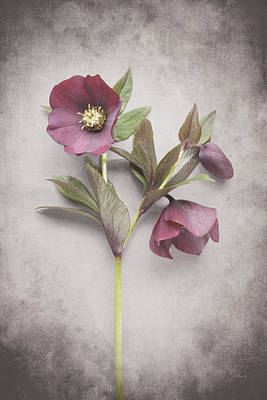 Purple And Gray Painting - Vintage Hellebore Study V by Felicity Bradley