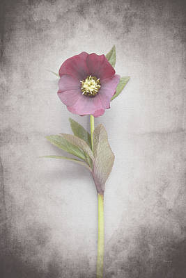 Purple And Gray Painting - Vintage Hellebore Study Vi by Felicity Bradley