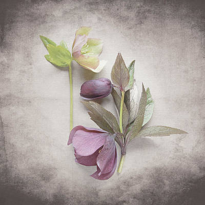 Purple And Gray Painting - Vintage Hellebore Study Vii by Felicity Bradley