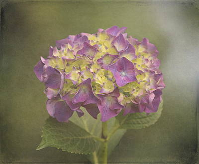 Vintage Hydrangea Art Print by Angie Vogel