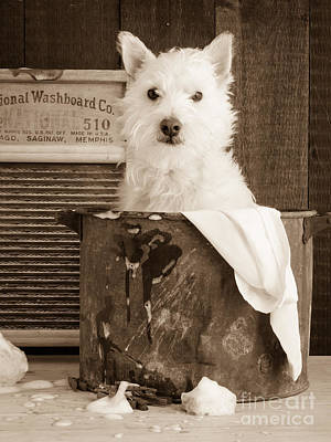 Westie Dog Photograph - Vintage Laundry by Edward Fielding