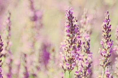 Photograph - Vintage Lavender by Jim And Emily Bush