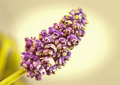 Photograph - Vintage Muscari by Caitlyn  Grasso