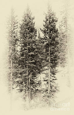 Photograph - Vintage Pines by Pam  Holdsworth