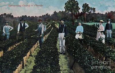 Photograph - Vintage Postcard People Harvesting Celery  by Valerie Garner
