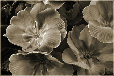 Photograph - Vintage Primrose. by Terence Davis