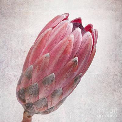 Protea Photograph - Vintage Protea by Jane Rix
