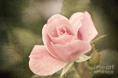 Old Time Feel Photograph - Vintage Rose  by Michael Ver Sprill