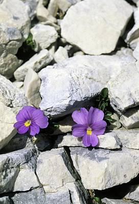 Viola Magellensis Art Print by Bruno Petriglia/science Photo Library