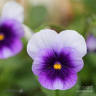 Viola Named Sorbet Violet Beacon Art Print by J McCombie