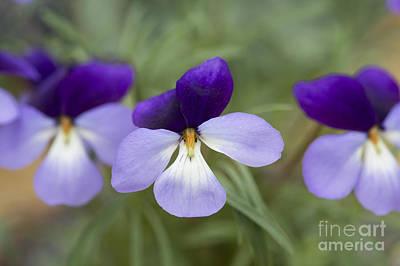Mauve Photograph - Viola Pedata Bicolour by Tim Gainey