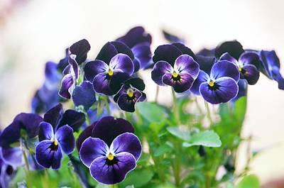 Viola 'sorbet Phantom' In Flower Art Print