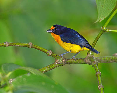 Photograph - Violaceous Euphonia by Tony Beck