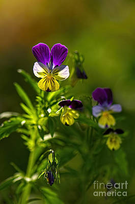 Photograph - Violas In The Morning 2 by Sharon Talson
