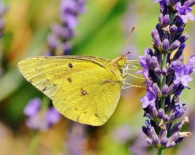 Photograph - Violet And Gold - Butterfly by Kim Bemis