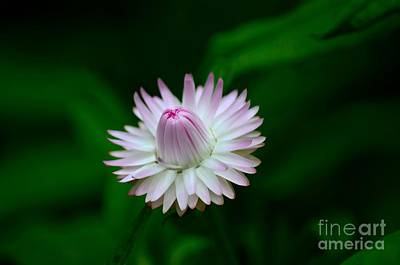 Photograph - Violet And White Flower Sepals And Bud by Imran Ahmed