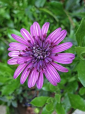 Digital Art - Violet Aster by Doug Morgan