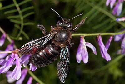 Vetch Photograph - Violet Carpenter-bee Feeding On Vetch by Bob Gibbons