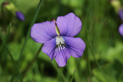 Photograph - Violet Flower by Kirkodd Photography Of New England