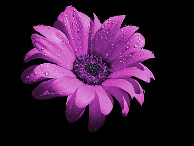 Valentines Day - Violet Flower with Rain Drops by Bruce Nutting
