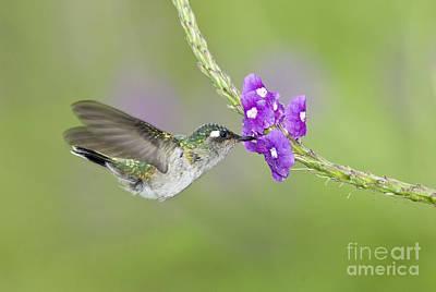 Nectaring Bird Photograph - Violet-headed Hummingbird by Anthony Mercieca