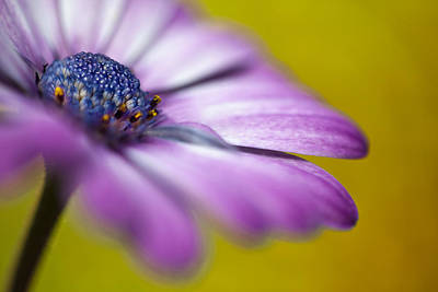 Pompons Photograph - Violet On Amber by Al Hurley