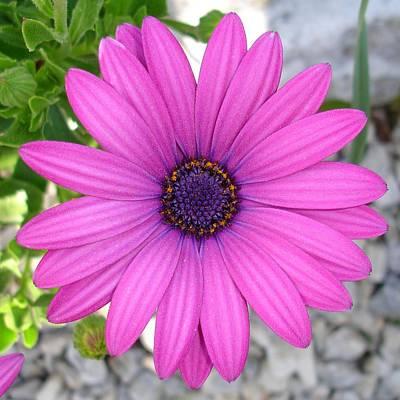 Photograph - Violet Pink Osteospermum Flower Daisy  by Tracey Harrington-Simpson