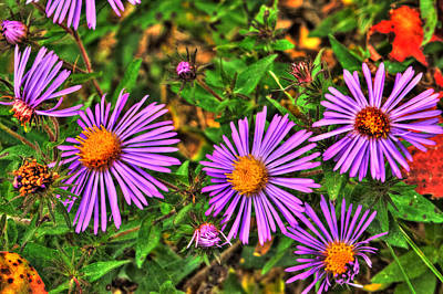Photograph - Violet Prairie Asters by Roger Passman