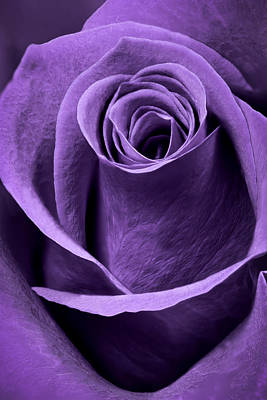 Abstract Flowers Photograph - Violet Rose by Adam Romanowicz