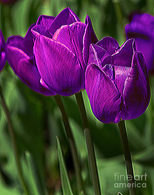 Violet Tulips 2 Art Print