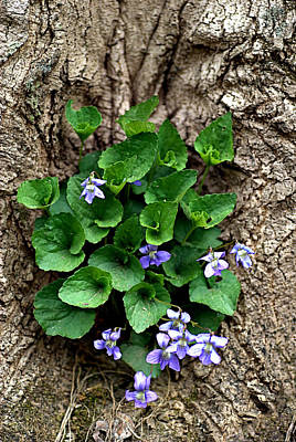 Photograph - Violets by Judy Salcedo