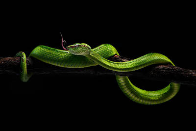 Viper Wall Art - Photograph - Viper One by Rooswandy Juniawan