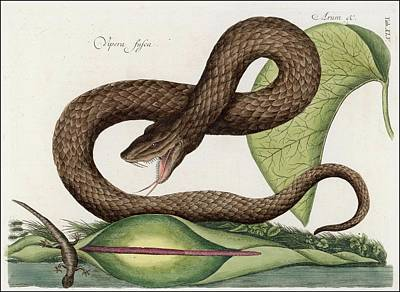 Viper Drawing - Vipera Fusca  A Vicious Viper by Mary Evans Picture Library