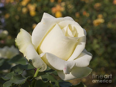 Photograph - Virgin White by Brenda Kean