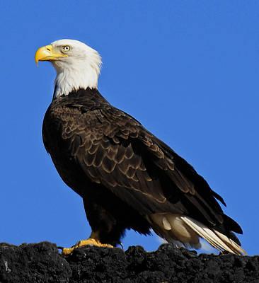 Virginia Bald Eagle Art Print by Lara Ellis