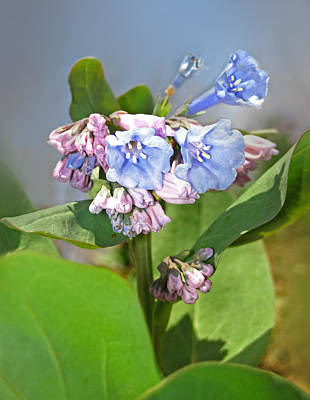 Photograph - Virginia Bluebells by Lara Ellis