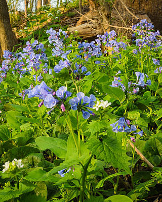 Photograph - Virginia Bluebells by Thomas Pettengill