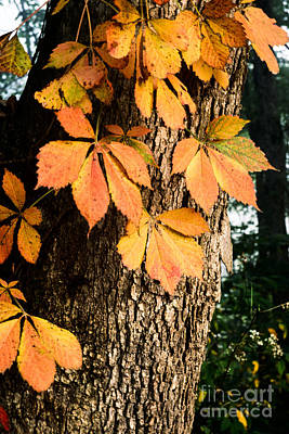 Virginia Creeper Autumn Color Art Print by Thomas R Fletcher