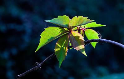 Photograph - Virginia Creeper Leaf Cluster by Ed Gleichman