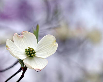 Photograph - Virginia Dogwood by Cathy Shiflett