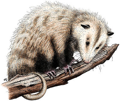 Photograph - Virginia Opossum by Roger Hall