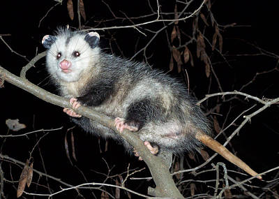 Art Print featuring the photograph Virginia Opossum by William Tanneberger