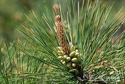 Photograph - Virginia Pine Cone 20120419_216a by Tina Hopkins