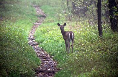 Photograph - Virginia - Shenandoah National Park - White Tailed Deer by Pamela Critchlow