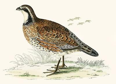 Virginian Partridge Art Print by Beverley R Morris