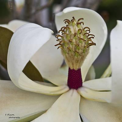 Virginia's Magnolia Art Print by Teresa Dixon