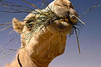 Camel Photograph - Vitamins And Minerals by Thorne Owenly