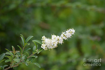 Chaste Photograph - Vitex Chaste Tree Branch  by Ruth  Housley