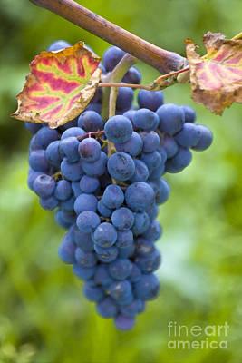 Blue Grapes Photograph - Vitis by Heiko Koehrer-Wagner